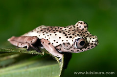 Hyla geographica (Juvenile) (Lus Louro) Tags: white macro nature animals closeup ecuador nikon rainforest wildlife small amphibian frogs planet anura beautty anuran specanimal impressedbeauty 1on1colorfulphotooftheweek luislouro 1on1colorfulphotooftheweekjune2008