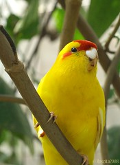 Do You Think I'm Pretty???? (Roszita) Tags: red bird up animal yellow fly close bright coloured soe takeabow naturesfinest golddragon abigfave diamondheart sheildofexcellence aplusphoto goldenphotographer citrit ysplix scarletrose77 unforgettablephotos theperfectphotographer roszita