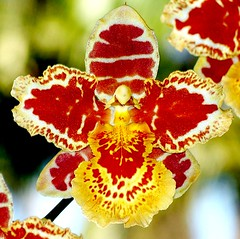 Betty's Butterfly (Nelson~Blue) Tags: orchid butterfly hill bettys hybrid oncidium odontoglossum olivers goldenheartaward marshallianum