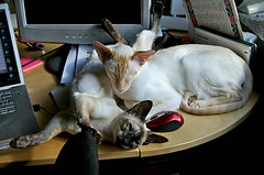 Two cats and one mouse (af_foto) Tags: cats siamese opus lalaith