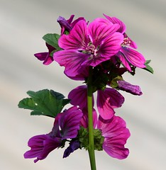 Blooming Mallows (tijmenkroes) Tags: ilovenature searchthebest mallow malva naturesfinest fantasticflower abigfave anawesomeshot beemte flowerwatcher awesomeblossoms kaasleskruid