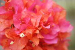 whoever said orange was the new pink was seriously disturbed... (*Cora) Tags: flowers orange bokeh bougainvillea
