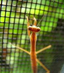 tiny praying mantis