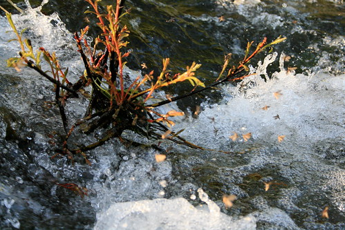 Upper Willamette River fly fishing