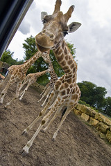 Giraffe from Longleat Safari Park (eclipsechaser (Daniel Lynch)) Tags: park tokina safari pro giraffe longleat f28 116 dx atx longleatsafaripark 1116mm tokinaatx116prodx tokina1116mmf28 tokinaatx116