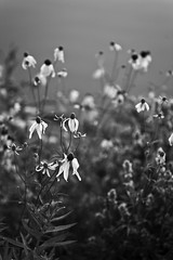 Swimming butterflies by Stricker's Pond (Mingfong) Tags: flowers light summer bw wisconsin canon photography story madison memory 5d canon5d summertime stories 黑白 middleton summerflower 藝術照 strickerspond summerflowers 桌布 stricker summercolors mingfong 風景攝影 黑白攝影 mingfongjan sketchoflight mingfongphotography 黑白風景攝影