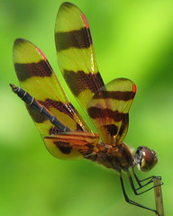 Halloween Pennant in a twirl (Vicki's Nature) Tags: mountains canon georgia bravo ode dragonfly s5 odonata halloweenpennant celithemiseponina odonate bej golddragon bokehlicious aplusphoto infinestyle macrophotosnolimits macroaward natureoutpost themacrogroup macromarvels theperfectphotographer goldstaraward vickisnature beautifulworldchallenges 100commentgroup