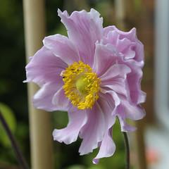 Anemone tomentosa 'Septemberglanz' (Britta's photo world) Tags: plants silk lilac anemone blush britta silky naturesfinest 60mmf28dmicro niermeyer anemonetomentosa anemonetomentosaseptemberglanz
