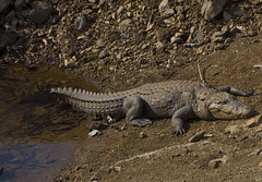 Indian Crocodile on Lake Bank (aeschylus18917) Tags: travel india lake nature pond nikon reptile wildlife crocodile d200 rajasthan 80400mm reptilia mtabu 80400mmf4556dvr crocodylidae crocodyluspalustris crocodylia muggercrocodile 80400mmf4556vr  danielruyle aeschylus18917 danruyle druyle induscrocodile crocodylomorpha   crocodyloidea