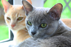 Burmese Cats 1 by suetupling, on Flickr