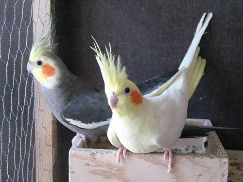 купить попугая корелла в челябинске