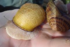 Snails for dinner? (allispossible.org.uk) Tags: summer food france snail foam slime 2008 snails escargot schnecke schnecken slimy schaum slimey schneke