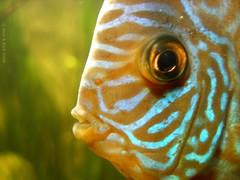 LOOKING AT ME ? (Rick & Bart) Tags: friends fish nature fauna germany zoo aquarium 1001nights wuppertal dierentuin zoowuppertal animaladdiction kartpostal freephotos botg natureoutpost rickbart thebestofday gnneniyisi bokehrama dragondaggerphoto rickvink