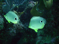 Butterfly Fish Pair (Can't Equalize) Tags: ocean water coast diving shipwreck bermuda storms naturesfinest theunforgettablepictures acuariospecesypaisajismomarino