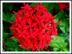 Ixora duffii cv. 'Super King' (Jungle Flame/Geranium, Flame of the Woods, Needle Flower) at our neighborhood