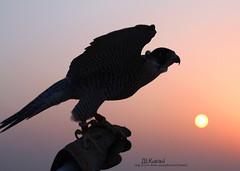 كلن يماري فعل طيره وحلياه .  يبي العلوم الغانمه والسفيره (ДĿΚußαisї) Tags: s falcon sunsit شاهين الشمال هوا alkubaisi الكبيسي قرناس