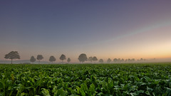 Nordzucker (Doblonaut) Tags: morning autumn mist geotagged nebel herbst landwirtschaft agriculture sonnenaufgang allee zuckerrben sugarbeets lemmie wennigsen calenbergerland geo:lat=52286918 geo:lon=9595056