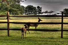 .. (nosha) Tags: usa nature beauty grass barn fence newjersey nikon farm wildlife nj september silo mercer deer pm 2008 hopewell mercercounty pennington faun d40 nosha