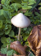 Abitante del sottobosco (Selina Zampedri) Tags: mushroom leaf foglia iq bosco cansiglio fungo sottobosco flickrdiamond freenature chicècè macromarvels