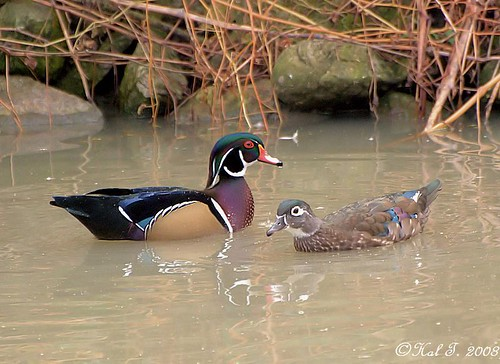 M & F Wood Ducks by Hikerboy45.