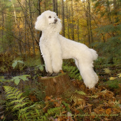 Holly Posing (Johny Day) Tags: holly hollywood standardpoodle spcr oneofmybest canicheroyal johnyday anawesomeshot johnyday© explore2008 beautifulldog bestlookingdog