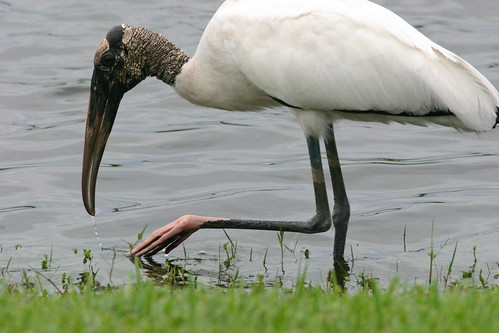 Wood Stork Stirring Water 20081026