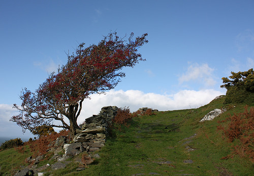 Thorn tree on the hill above Barmouth