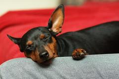 resting (crwl) Tags: dog toy paw pentax resting miniaturepinscher minpin 135mm k10d sunactinon