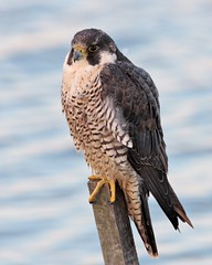 Falcon (Larry Hennessy) Tags: usa newjersey falcon peregrinefalcon featheryfriday forsythewmr avianexcellence distinguishedraptors wildperegrine