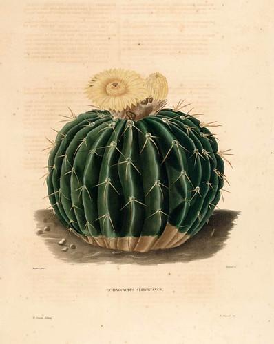 011-Echinocactus sellowianus