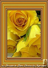 25+1 golden treasures (Frozen in Time photos by Marianne AWAY OFF/ON) Tags: flowers roses flower nature rose yellow yellowflowers yellowroses framedphotos masterphotos nationalgeographicwannabes flowersarebeautiful masterphotosgroup flowersallkinds unlimitedphotosnorules flowersarefabulous photowatermarkframes flickrgiants nationalgeographiswannabes