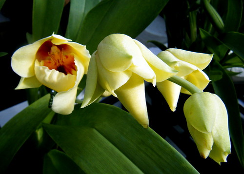 Scout Orchid
