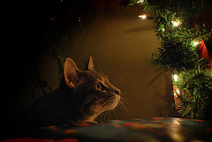 Do You Believe? (zebra.paperclip) Tags: santa christmas tree green cat wrapping lights kitten soft chelsea bright lol magic kitty fluffy whiskers believe cuddle zebra paperclip habanero perk hobs lovehim baro icanhazcheezburger thecatwhoturnedonandoff zebrapaperclip habenretardo