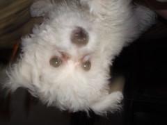 DSC01406 (Carolyn Darnton) Tags: dogs bichonfrise percy