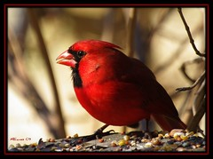 RED (MEaves) Tags: red color male nature closeup illinois searchthebest cardinal pentax vivid avian aficionados redbird potofgold naturesfinest blueribbonwinner topshots seedeater golddragon mywinners abigfave anawesomeshot k20d theunforgettablepictures cmwdred theperfectphotographer goldstaraward pentaxk20d natureselegantshots panoramafotográfico internationalflickrawards