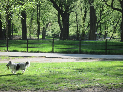 Frisbee Dog in Central Park