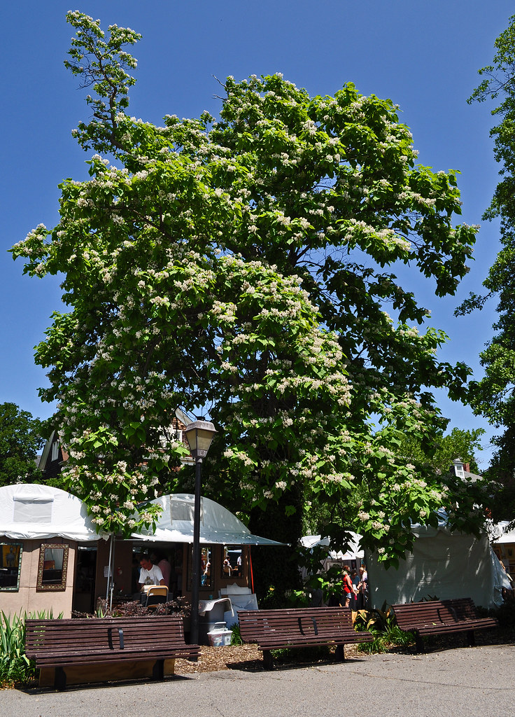 Stockley Gardens Catalpa Tree