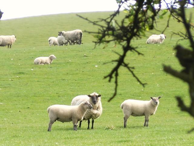 母羊和羊羔