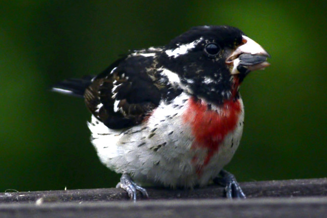 juvi redbreasted grosbeak 3