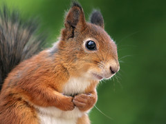 Squirrel worries (Tomi Tapio) Tags: cute eye face cemetery closeup fur mammal helsinki squirrel iso400 ears whiskers orava paws tame cureuil hietaniemi sciurusvulgaris sqrl eurasianredsquirrel kurre canonef90300mmf4556usm loosecrop theperfectphotographer