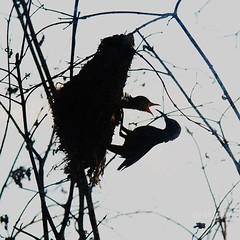 more! (AraiGodai) Tags: baby interesting explore feed araigordai yellowbreastedsunbird raigordai araigodai
