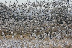 Snow Geese (moutdoors) Tags: sauvieisland snowgeese