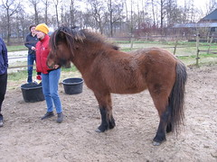 Vídalín, Dec 2007 (Steven M Schultz) Tags: horse netherlands animal pony pferde stallion drenthe dun paarden icelandic eelde hengst icelandichorse ijslander icelandichorses islandpferd vidalin tölt