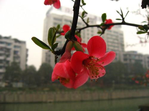 Spring blooms in Chengdu park