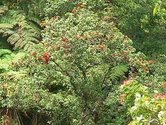 Ohia Tree