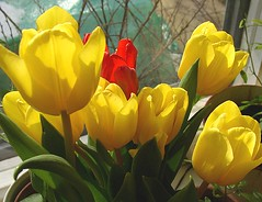 tulips for Easter (Per Ola Wiberg ~ Powi) Tags: flowers friends mars march niceshot tulips loveit 2008 soe excellence flowerbox musictomyeyes aclass potofgold psk tulpaner naturesfinest awesomeshot excellenceinfloralphotography justonelook floralfantasy supershot contactgroup goldenmix mywinners peaceaward anawesomeshot ultimateshot amazingshots flickraward fabulousflowers diamondclassphotographer flickrdiamond mycameraneverlies flickrbronzeaward citrit heartawards theunforgettablepictures diamondstars flickrsun ~vivid~ overtheexcellence exemplaryshotsflickrsbestgroup betterthangood everydayissunday theperfectphotographer goldstaraward yourpreferredpicture worldofflowers thepoweroftheflower thegoldenflower onewordwow rubyphotographer mimamorflowers qualitypixels fotosconestilo overtheshot llovemypics abovealltherest awesomeblossoms flickrflorescloseupmacros grrreatworks oneflowerperday photographerparadise oohlalapictures visionaryartsgallery passionforflowers unforgettableflowers photographersworldbestfriends addictedtoflower naturesribbon blinkagain hellofriend peaceandheart soulocreativity