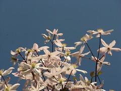clematis armandii (elisabetta2005) Tags: fiori trieste ortobotanico