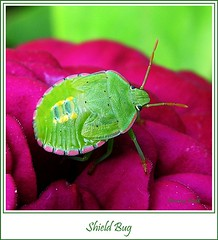 Cool Green Bug on a Hot Pink Flower (pennyeast) Tags: pink friends flower macro green nature bug garden insect southafrica botanical beetle capetown explore edge harmony frame zinnia plantae mygarden creature defenders pest westerncape shieldbug creepycrawly smallcreature palomenaprasina lifeasiseeit theloveshack diamondheart anawesomeshot buzznbugz papaalphaecho qualitypixels theloveshack llovemypics
