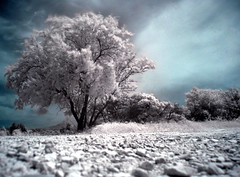 Tree in the wind (Lolo_) Tags: white tree ir vent wind aixenprovence infrared provence stroll arbre blanc chemin mistral régis infrarouge saintpères