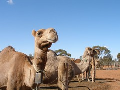 Camels (Lookout Snap) Tags: menindee